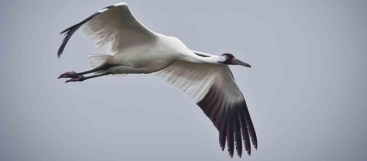 whooping-crane-in-flight